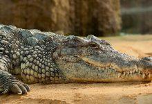 Foto de un reptil que muestra lo que es soñar con cocodrilos