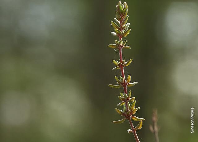 Foto de una rama de planta con hojas puntudas