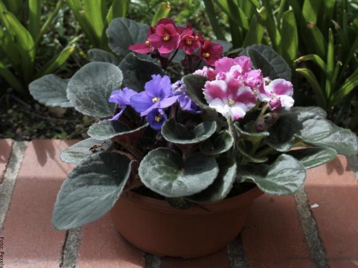 Foto de varias plantas violetas africanas