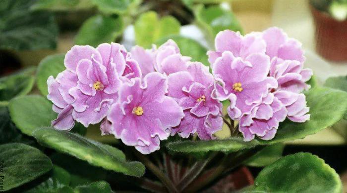 Foto de las flores de la planta violeta africana cuidados