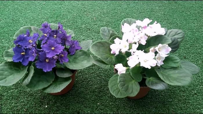 Foto de las plantas en color morado y blanco