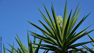 Foto de una planta en el campo que ilustra la yuca y sus cuidados