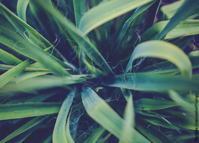 Foto de las ramas de una planta que myestra la yuca y sus cuidados