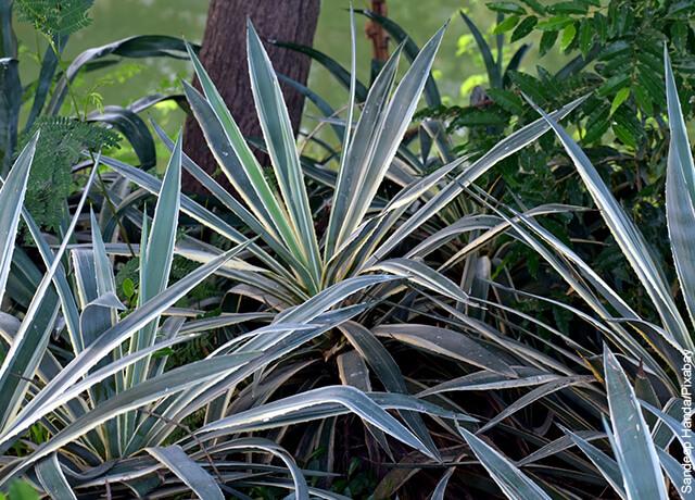 Foto de una planta de yuca