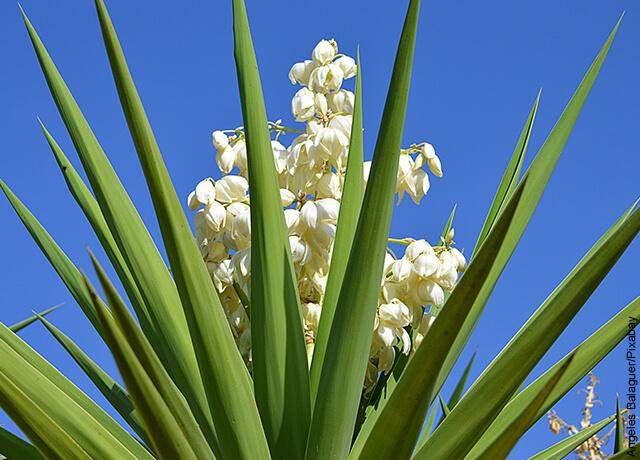 Foto de una planta perenne con flores vblancas