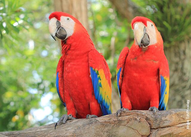 Foto de dos guacamayas rojas sobre un tronco