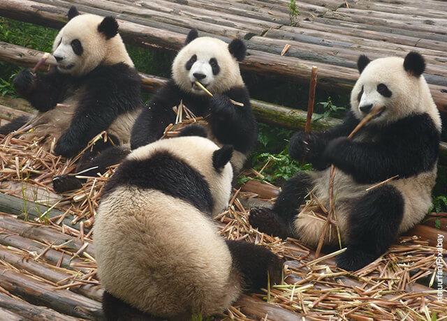 Foto de un grupo de osos panda comiendo bambú
