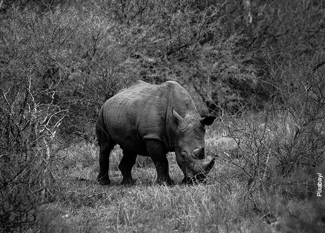 Foto en blanco y negro de un rinoceronte en la selva