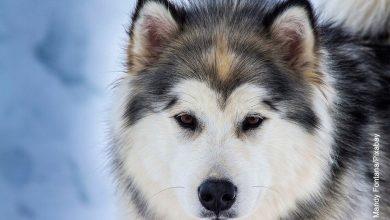 Foto de un perro lobo que ilustra los animales hermosos