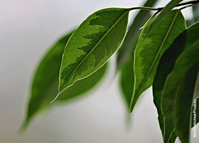 Fotos de las hojas de una planta ficus benjamina
