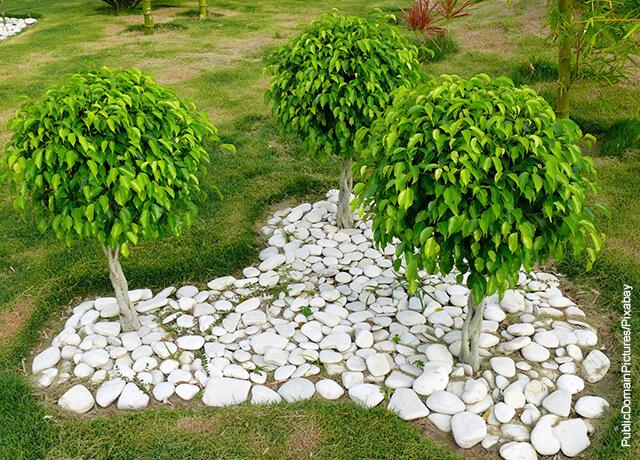 Foto de tres árboles ficus benjamina plantadas en exterior