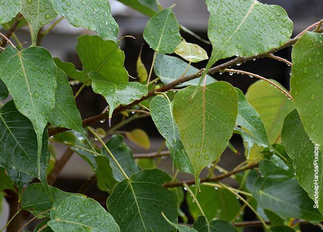 Foto de las hojas mojadas de una planta ficus