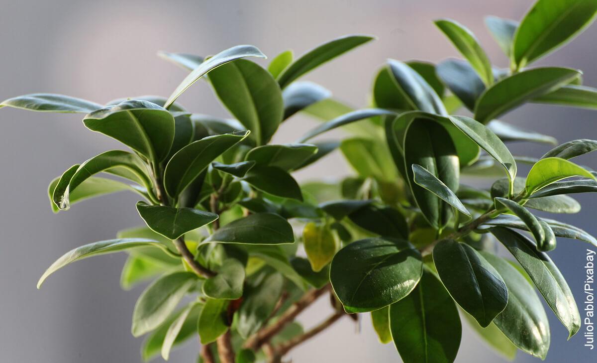 Foto de una planta perenne que muestra al ficus benjamina y sus cuidados
