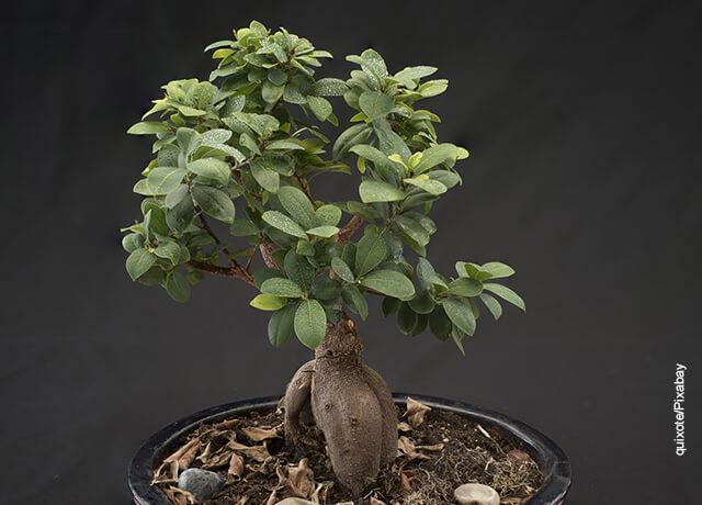 Foto de un bonsái en una maceta