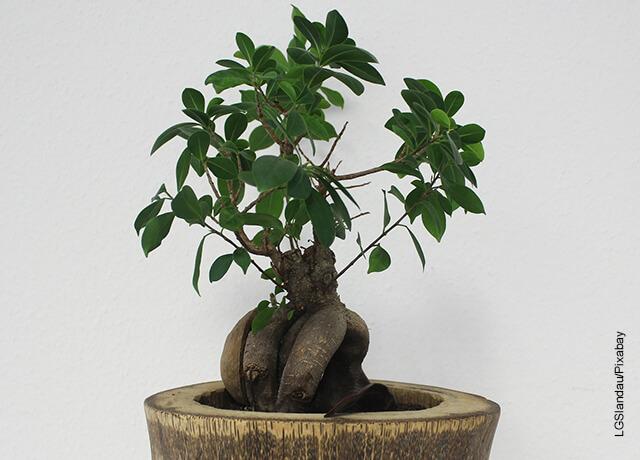 Foto de un árbol bonsái plantado en madera