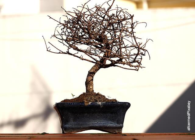 Foto de un árbol bonsái seco y marchito