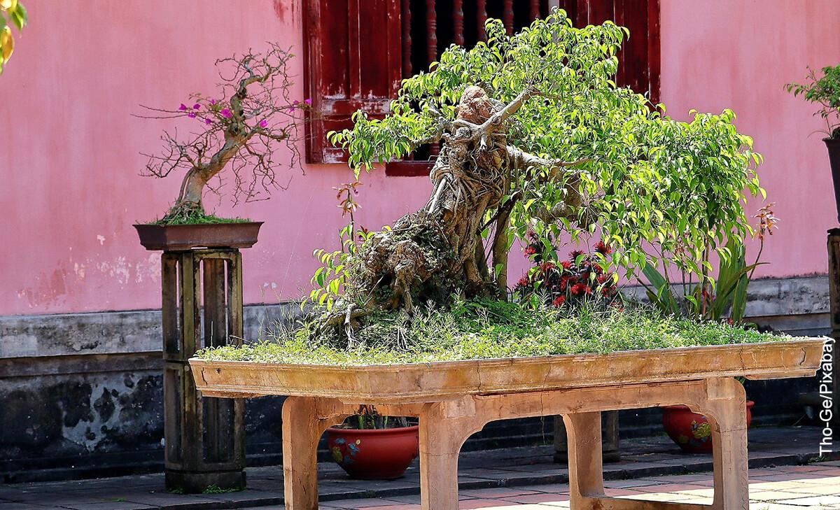 Foto de un árbol bonsái en un patio que revela al ficus ginseng y sus cuidados