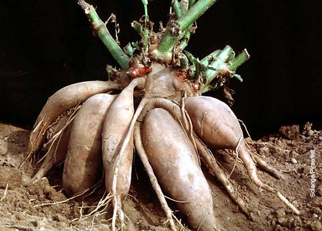 Foto de las raíces de tubérculos que ilustran para qué sirve el yacón