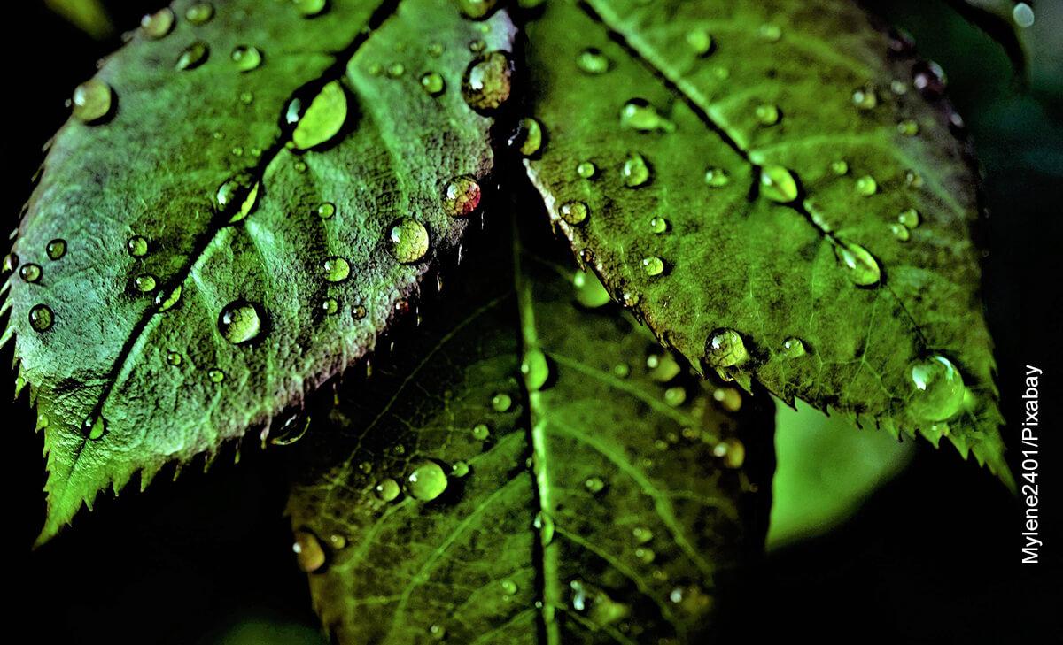 Foto de las hojas mojadas de una planta que ilustra para qué sirve la clorofila