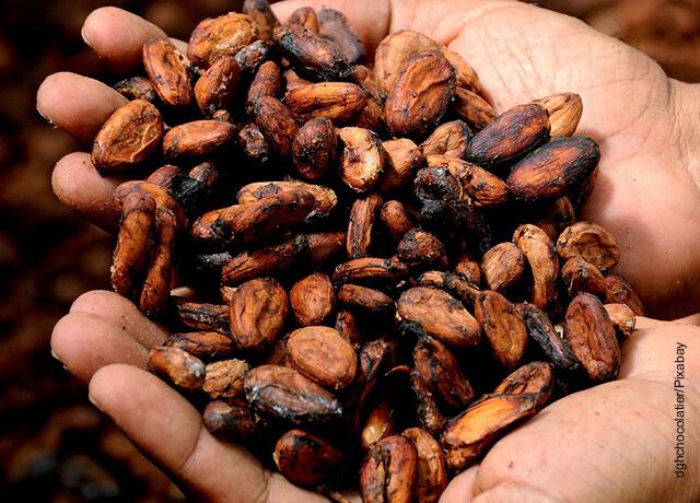 Fotos de granos de cacao que muestra para qué sirve la manteca de cacao