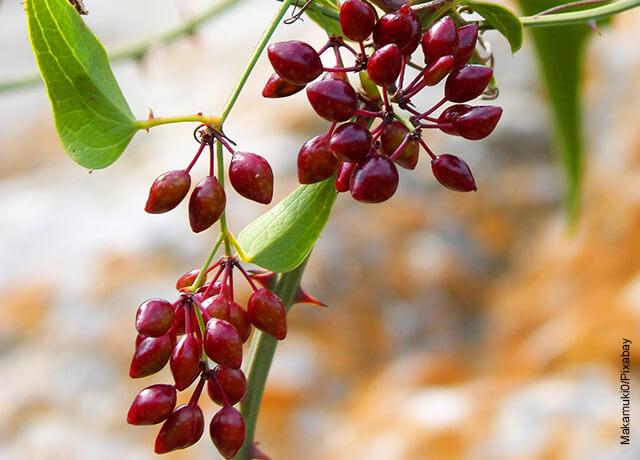Foto de una rama de planta de zarzaparrilla