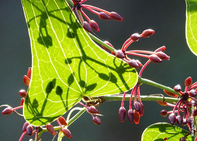 Foto de la hoja de una planta de zarzaparrilla