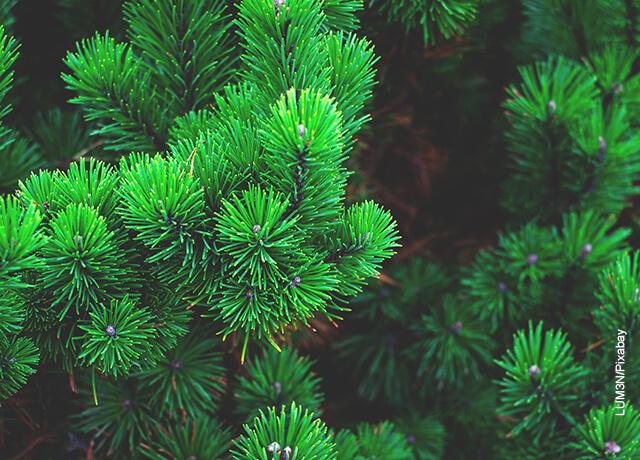 Foto de las ramas de un pino que ilustran para qué sirven las plantas