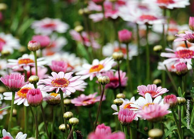 Fotos de un sembrado de margaritas rosadas