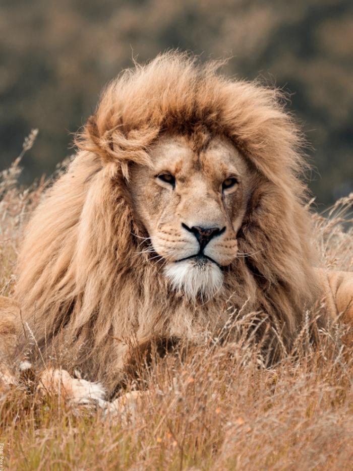 Foto de un león mirando al horizonte