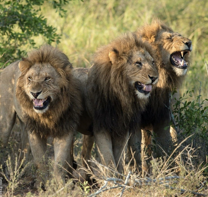 Foto de varios leones