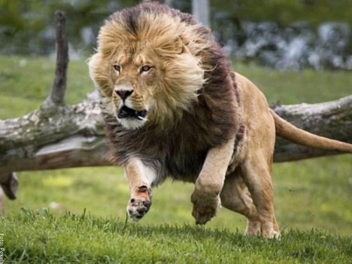 Foto de un león listo para atacar