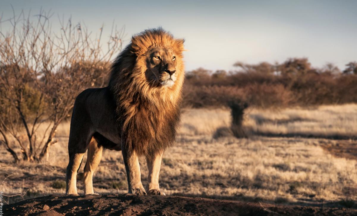 Qué significa soñar con leones, ¡fuerza interior!