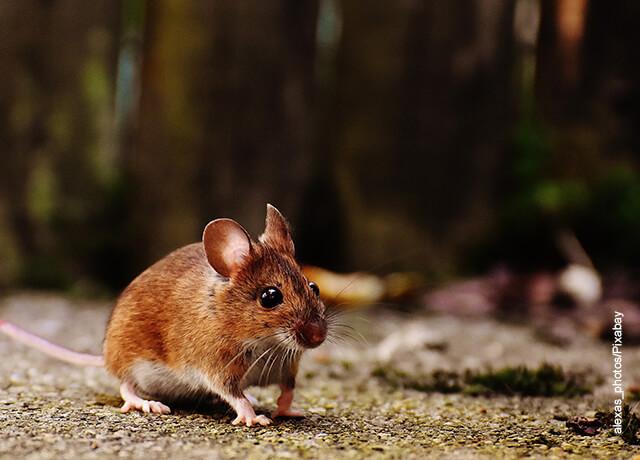 Foto de un roedor que ilustra qué significa soñar con ratones