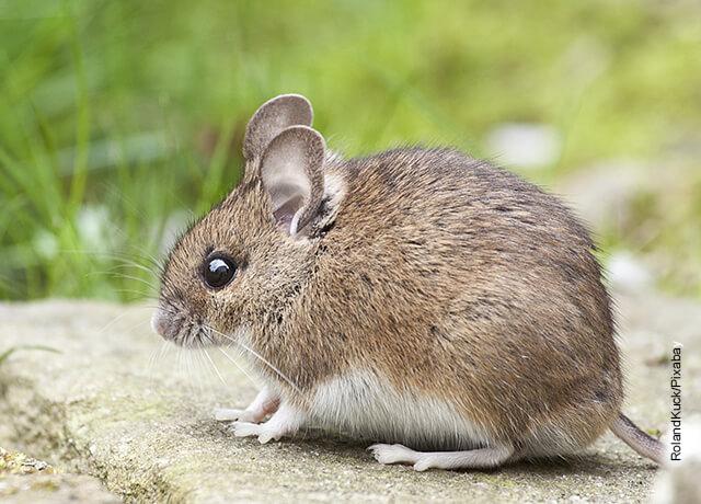 Foto de un pequeño roedor en el campo que muestra qué significa soñar con ratones