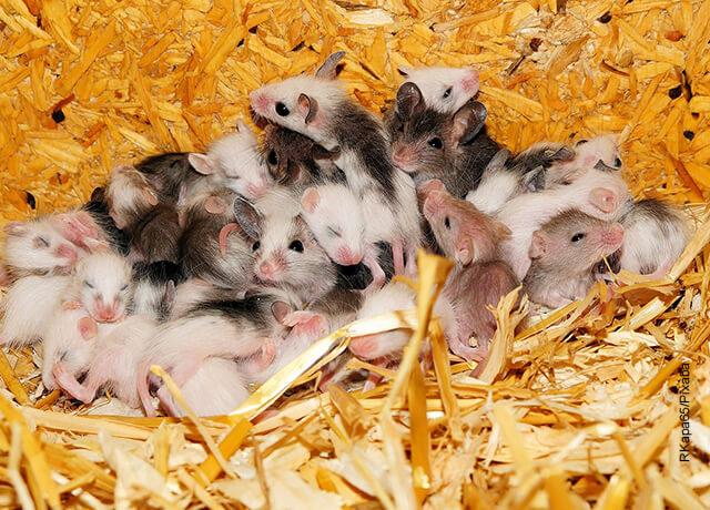 Foto de una camada de ratones