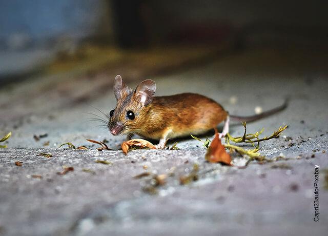 Foto de un roedor café que muestra qué significa soñar con ratones