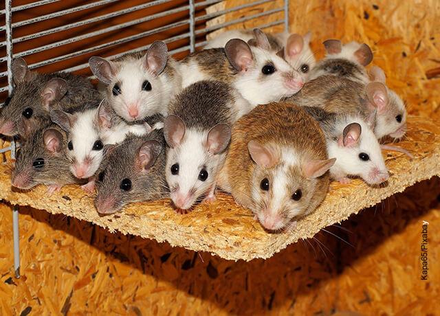 Foto de varios roedores de diferentes colores