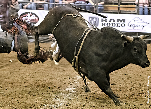 Foto de un toro golpeado con sus patas a un hombre que muestra qué significa soñar con toros
