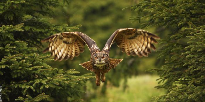 Foto de un búho volando