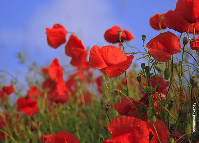 Foto de un sembrado de flores rojas