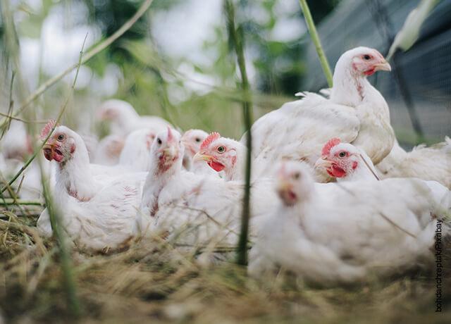 Foto de muchas gallinas blancas acostadas en el piso