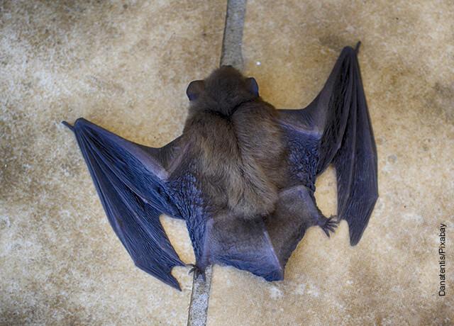 Foto de un murciélago pegado a la pared que muestra lo que es soñar con murciélagos