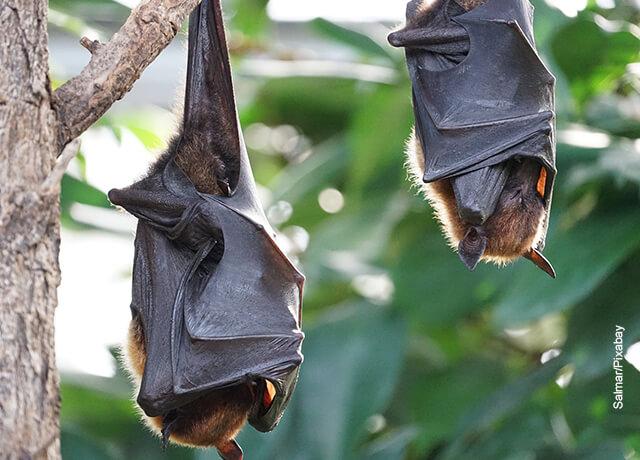 Foto de dos murciélagos colgados durmiendo