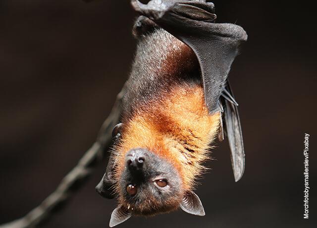 Foto de un murciélago café