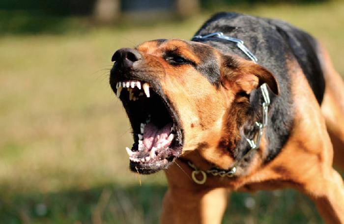 Foto de un perro bravo