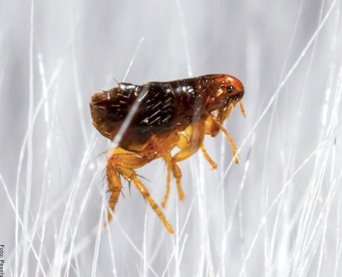 Foto de una pulga
