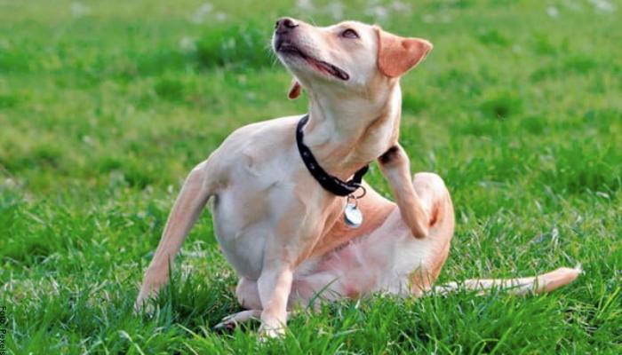 Foto de un perro rascándose