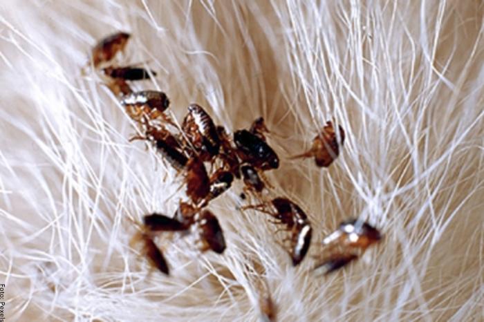 Foto de varias pulgas para ilustrar soñar con pulgas