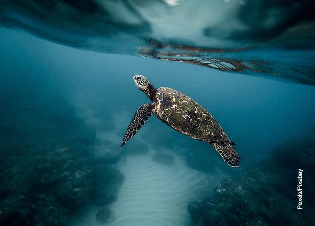 Foto de una tortuga nadando que muestra qué significa soñar con tortugas