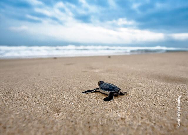 Foto de una tortuga caminando por la playa